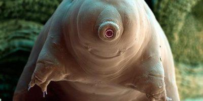 Poseen características únicas en el reino animal tales como sobrevivir en el vacío del espacio, a presiones muy altas. Foto:Tumblr
