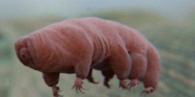"""Más tarde, el término Tardígrado (que significa """"de paso lento"""") fue dado por Lazzaro Spallanzani en 1777, debido a la lentitud de este animal. Foto:Tumblr"""