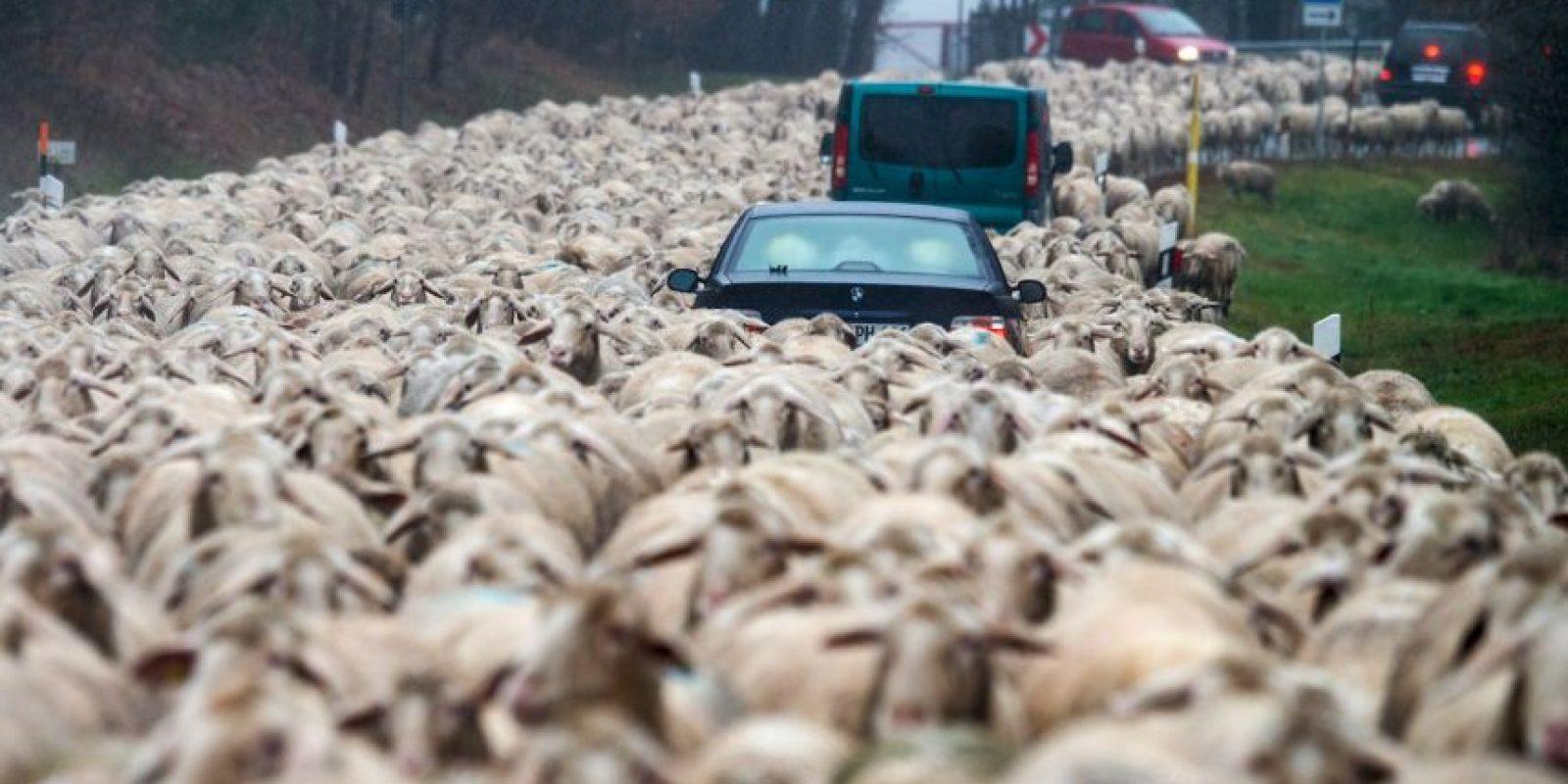 Carros atrapados en un rebaño de ovejas en Alemania. Foto:AFP