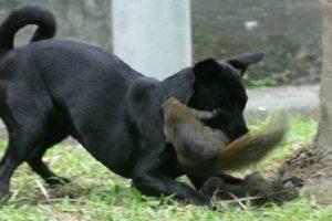 Son animales muy ágiles, con un gran desarrollo del olfato, el oído y la vista, al punto de sostenerse el criterio de que perciben los colores. Foto:Vía Tumblr
