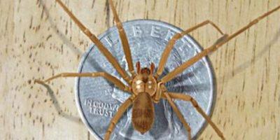 Vive principalmente en el sur de Estados Unidos. Si esta araña llega a picarlos, puede que sientan un escozor fuerte o nada en lo absoluto. Pero luego pueden sentir escalofríos, náuseas o sudoracón, entre otros síntomas. Luego se les formará una úlcera en el área de la picadura. En algunos casos más severos, la víctima puede presentar convulsiones y sangre en la orina. Foto:vía Wikipedia