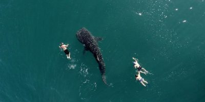 Tiburón ballena y buzos Foto:Vía Dronestagr.am