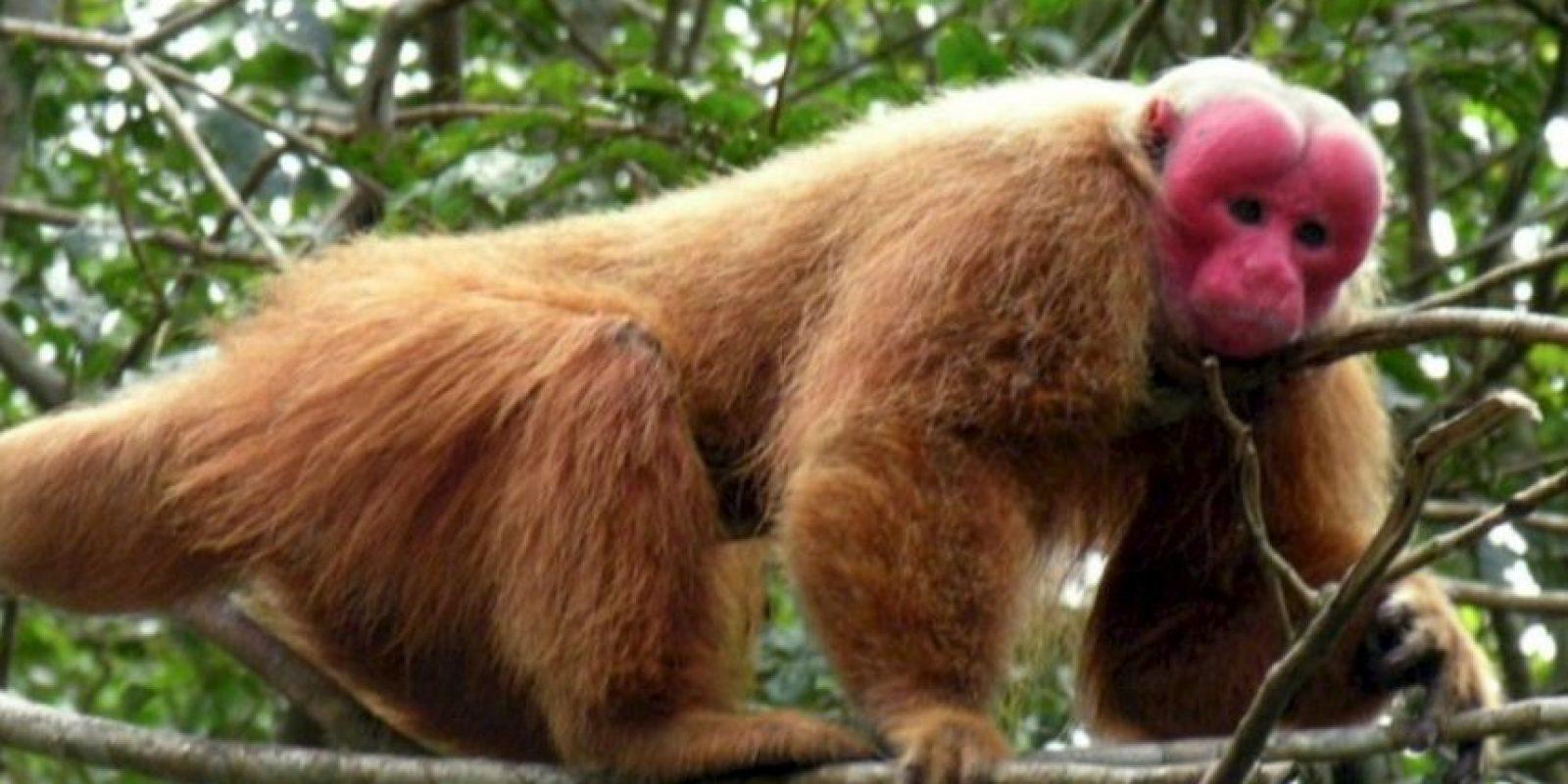 9. Uakarí. Foto:Wikipedia