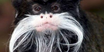 10. Tití bigotudo Foto:Wikipedia