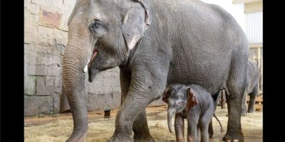 El pequeño es hijo de una elefanta de nombre Kiwa. Foto:Vía facebook.com/tierparkberlin