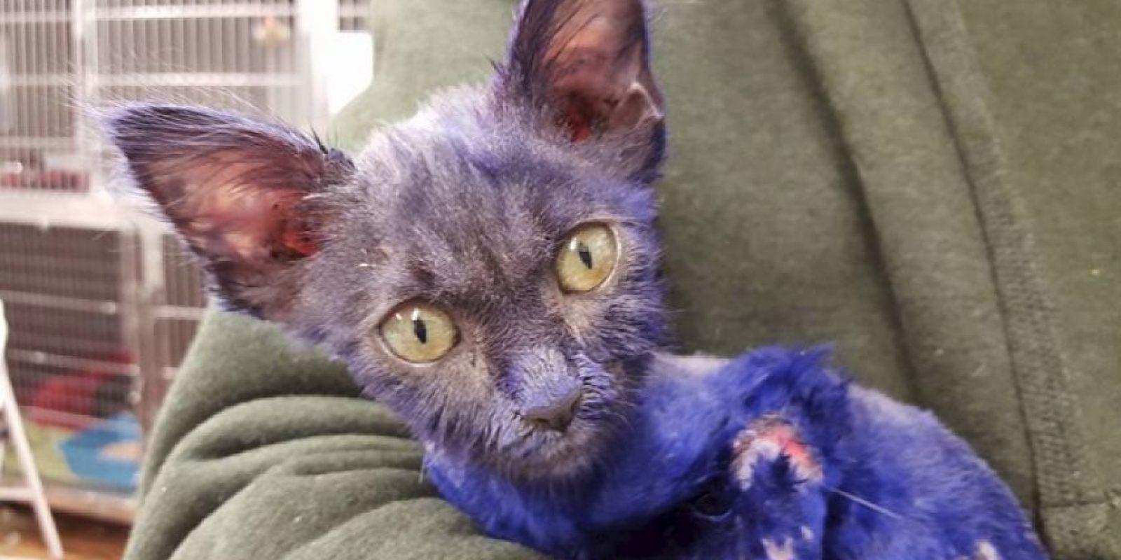 El pequeño felino llegó con tan solo 7 semanas de nacido. Foto:facebook.com/NineLivesFoundation