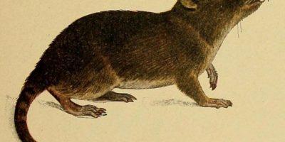 """Muchos se asustan con las ratas gigantes, conocidas en Latinoamérica como """"runchos"""". Foto:vía Wikipedia"""
