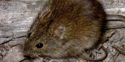 Son comunes en Colombia, Ecuador, Perú y Venezuela. Foto:vía Mammalogy.org
