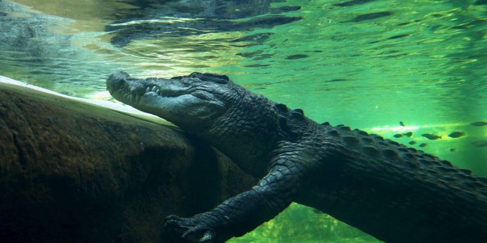 Las hembras son mucho más pequeñas: alcanzan los cuatro metros (13 pies) y un peso de 500 kilogramos (mil 100 libras). Foto:Getty Images