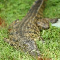 Según funcionarios de vida silvestre el ataque provino de un cocodrilo de aguas saladas. Foto:Getty Images