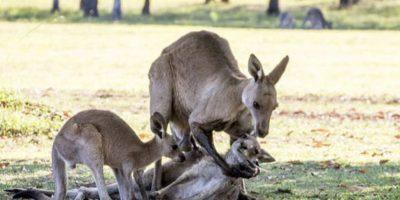 Una madre canguro agonizaba mientras su pareja, el macho, la sostenía para ver qué pasaba con ella. Foto:vía Ewan Switzer