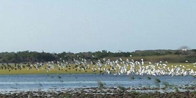 Garcetas rojizas, garzas patiamarillas, cigüeñuelas de cuello negro y gallitos de ciénaga son algunas de las aves migratorias que se pueden apreciar en esta temporada en el Lago El Cisne. Foto:Lina Robles