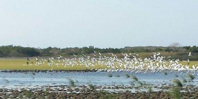 Las aves migratorias pueden durar entre 20 y 30 días descansando en el lago. Foto:Lina Robles