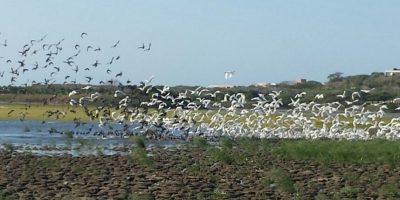 Garzas blancas y aves negras descansan de su viaje migratorio en el Lago El Cisne. Foto:Lina Robles