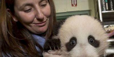 Probablemente, no hay nada más tierno y divertido que ser cuidador de pandas. Foto:Facebook/iPanda