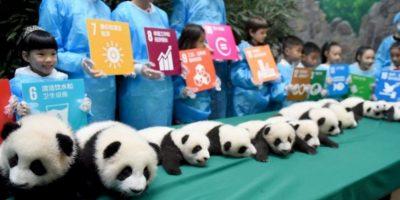 Debido a que es una especie en peligro en extinción, zoológicos y organizaciones buscan la manera de conservarlos. Foto:Getty Images