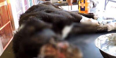 Pero procedieorn a quitarle los gusanos. Foto:vía Facebook/Animal Aid Unlimited