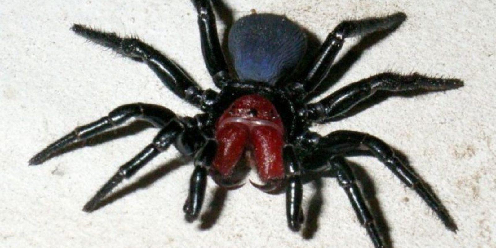 Araña del ratón: este afecta el sistema nervioso y puede tener efectos rápidos. Foto:animalesmascotas.com