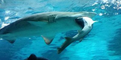 Los hábitos de alimentación de los tiburones se ven afectados por las fases lunares, que controlan mareas y les atraen a los puertos. Foto:Getty Images