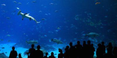 Los tiburones tienen un sentido del olfato muy agudizado. Se dice que pueden detectar con facilidad una gota de sangre en una piscina de tamaño olímpico. Foto:Getty Images