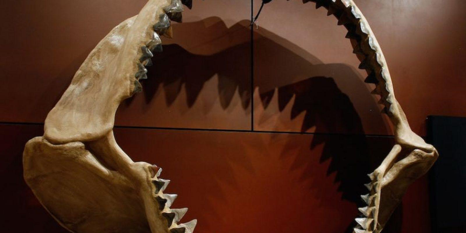 Un tiburón puede tener más de 20.000 dientes en su vida. Foto:Getty Images