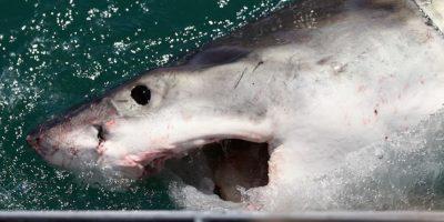 La cadena alimenticia marina está afectada directamente por los hábitos de alimentación de los tiburones. Sin ellos, la población de pulpo crecería tanto que acabaría con la de langostas. Foto:Getty Images