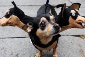 Perro de tres cabezas Foto:Imgur