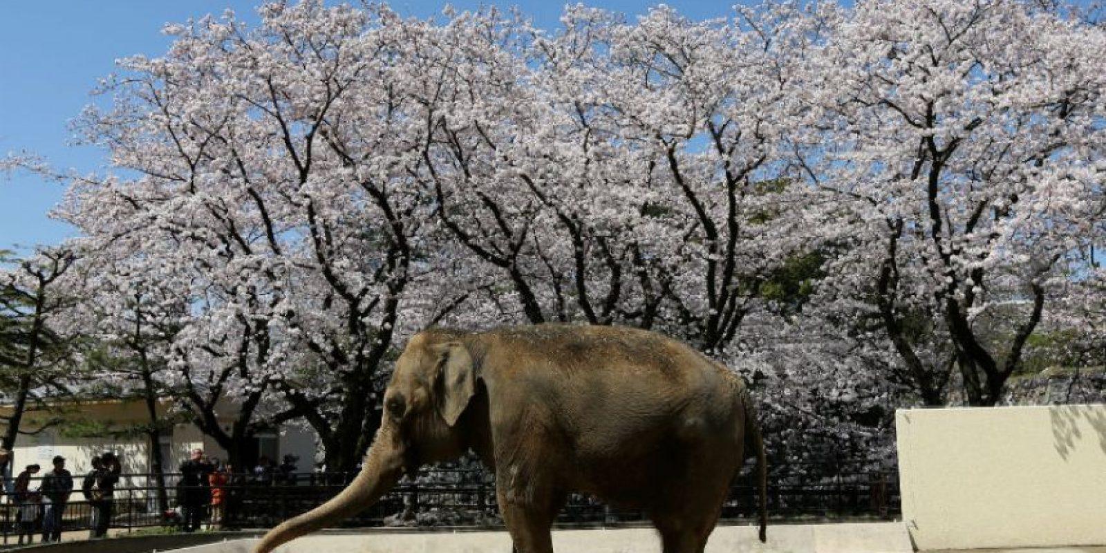 Investigaciones suelen afirmar que el elefante tiene buena memoria. Foto:Getty Images