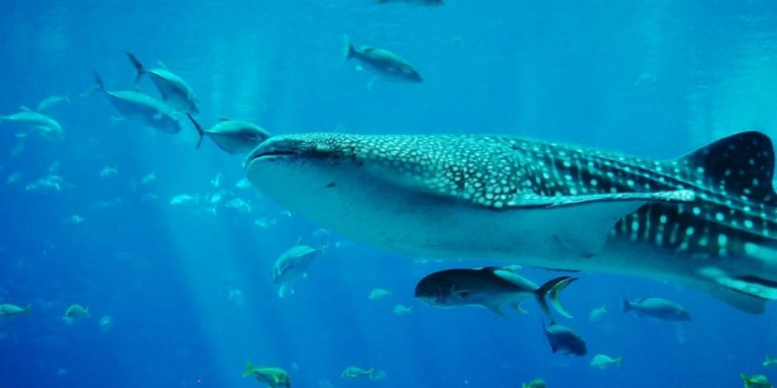 Tiburón ballena Foto:Wikipedia Commons