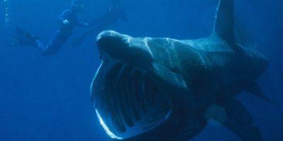 Es el segundo tiburón más grande, después del tiburón ballena. Foto:Wikipedia.org