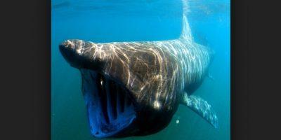 Tiburón peregrino Foto:Wikipedia.org