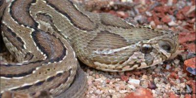 Al igual que la víbora de Rusell, la cual habita en Asia Foto:Wikipedia.org