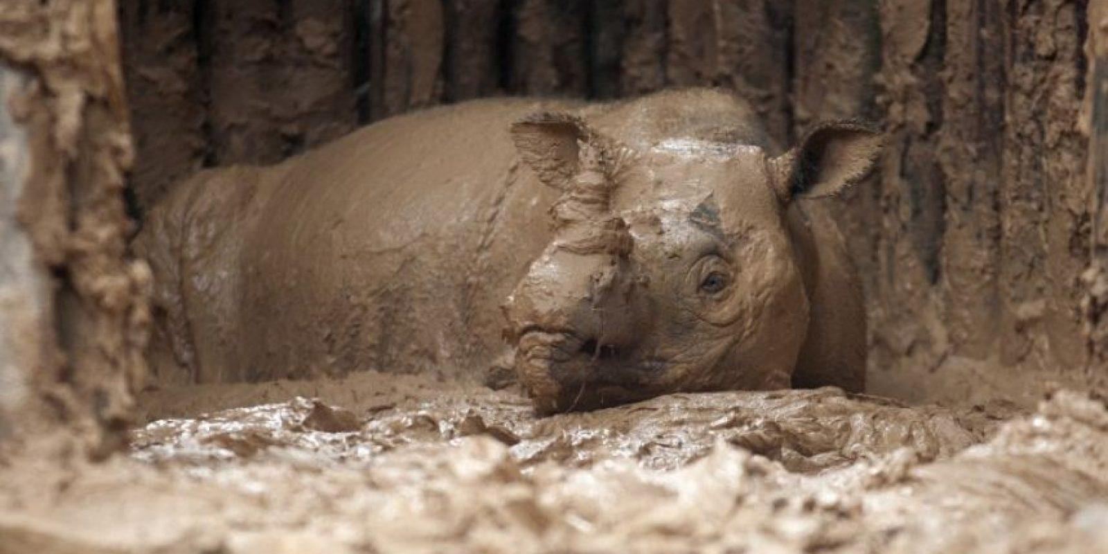 La rinoceronte fue encontrada en una jaula Foto:AFP