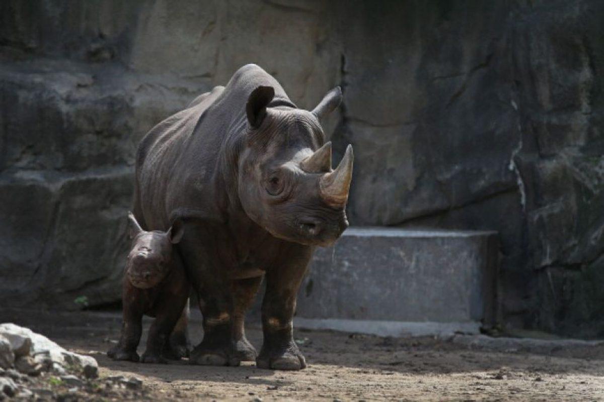 Los matan principalmente por su cuerno, el cual es usado en la medicina tradicional china y se vende en el mercado negro. Foto:Getty Images