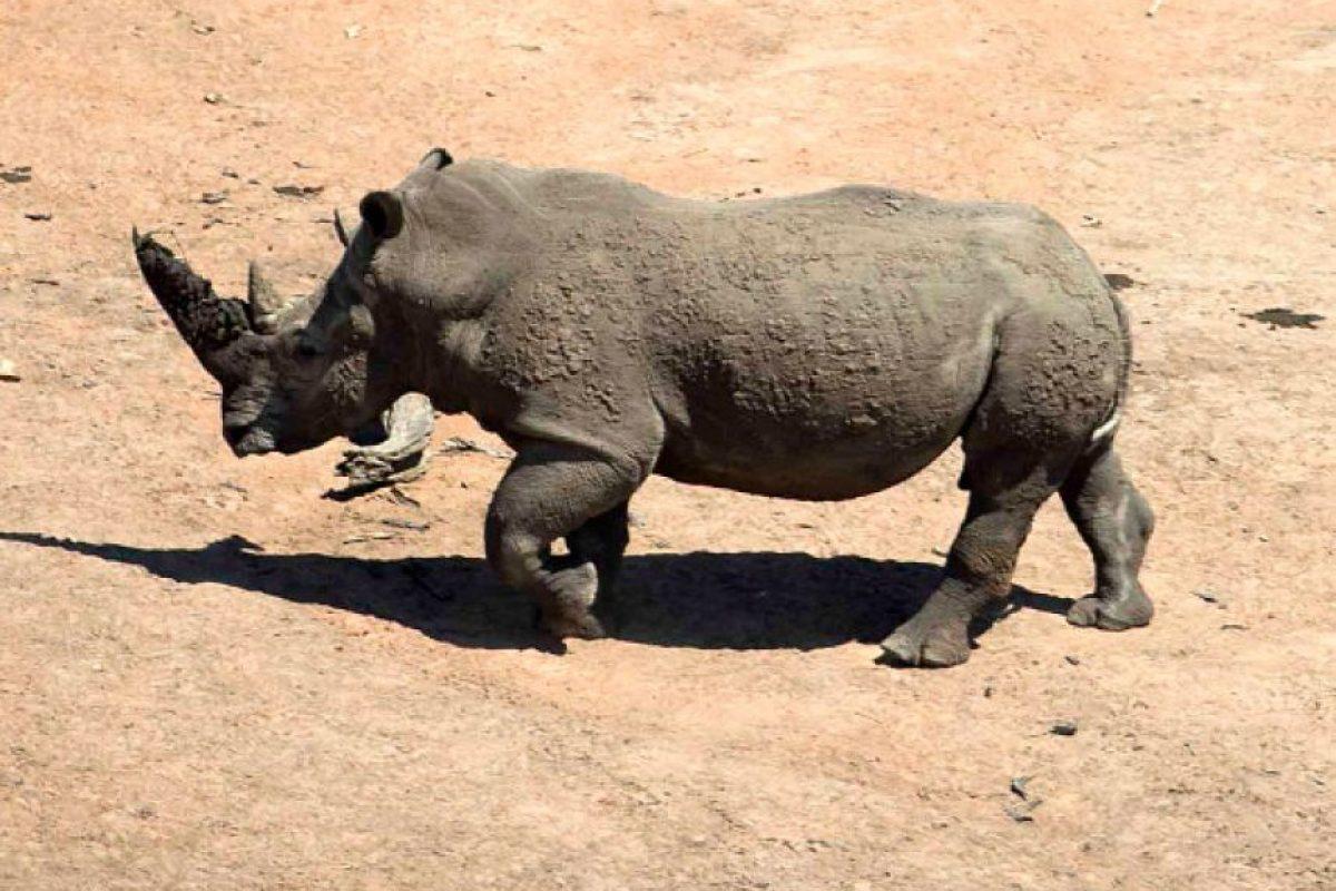 La piel del rinoceronte es muy gruesa, pero aun así es sensible a las picaduras de insectos y al sol. Foto:Getty Images