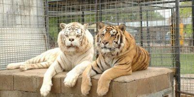 La mayoría viven en zoológicos y parques con fauna especial. Foto:Turpetine Creek Wildlife Refuge