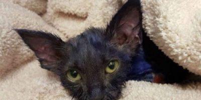 Pitufo, como luego fue nombrado, tenía aproximadamente dos meses de vida cuanod fue rescatado. Foto:facebook.com/NineLivesFoundation
