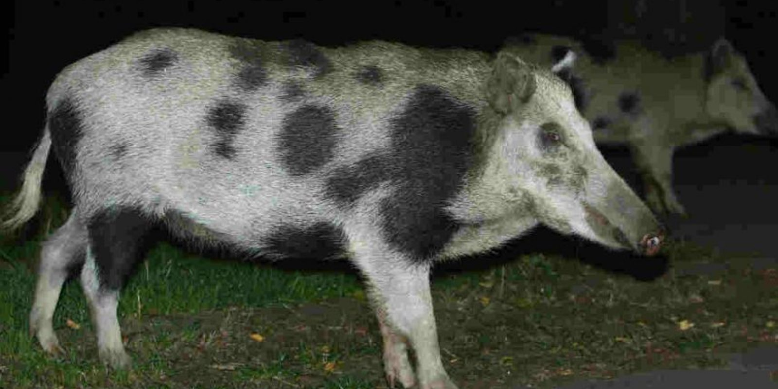 """A los jabalíes también se les conoce como """"cerdos salvajes"""" Foto:Getty Images"""