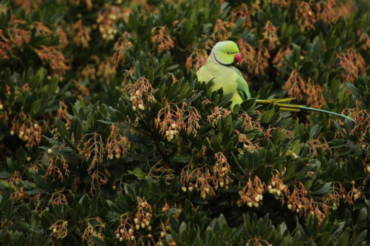 Algunas especies pueden imitar gran diversidad de sonidos, incluida la voz humana Foto:Getty Images