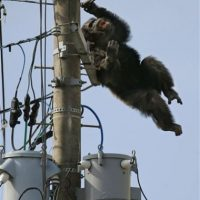 Al parecer Chacha no es el único animal que quiere dejar el cautiverio. Foto:AP