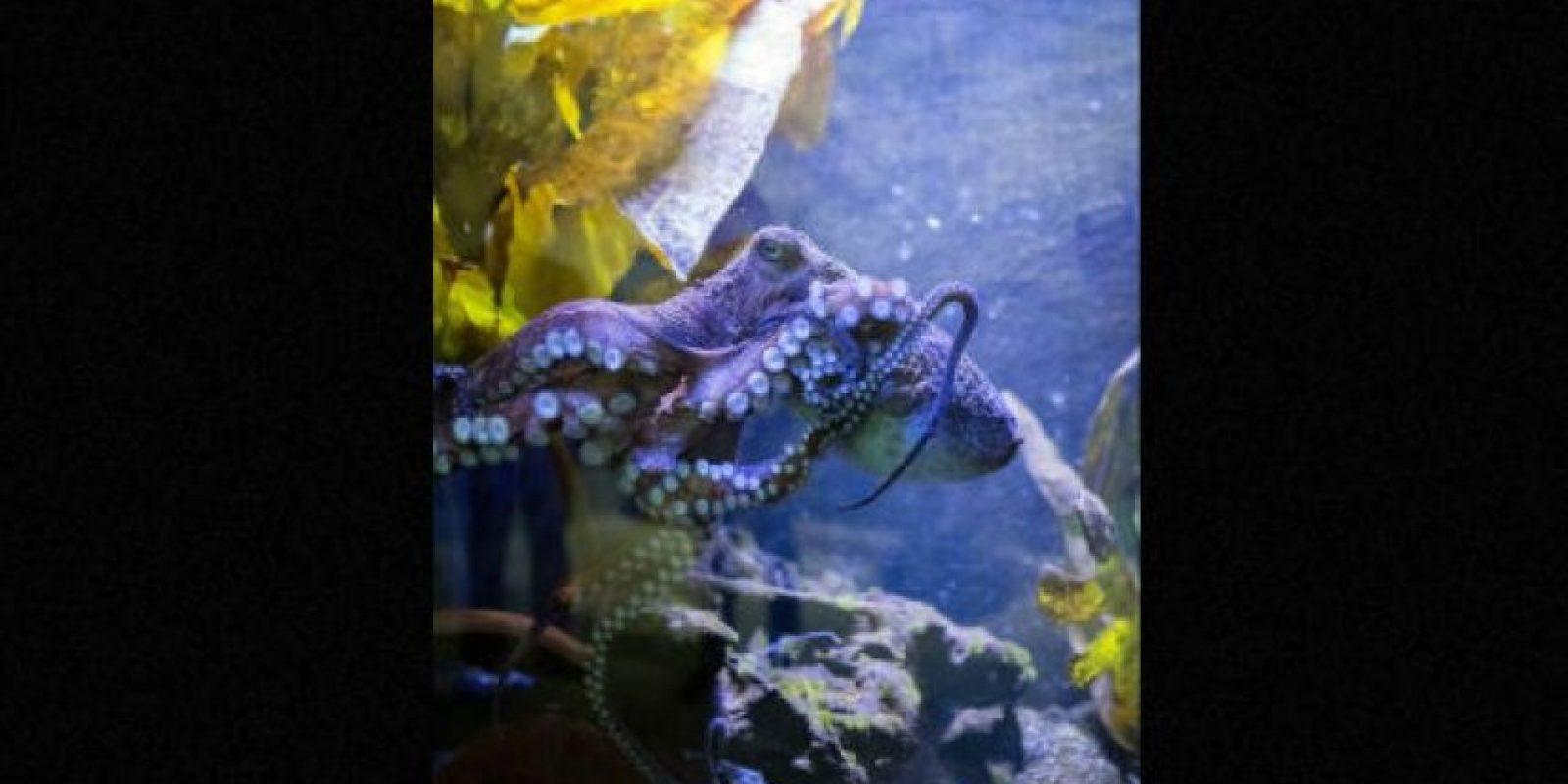 """Un pulpo llamado """"Inky"""" sorprendió al mundo al """"fugarse"""" de un acuario a través de la tubería del desagüe. Foto:Facebook.com/NationalAquariumNZ"""