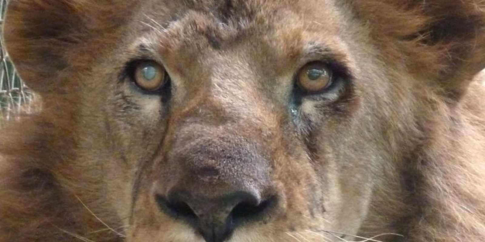Ojiclaro Foto:Cortesía ADI (Animal Defenders International)