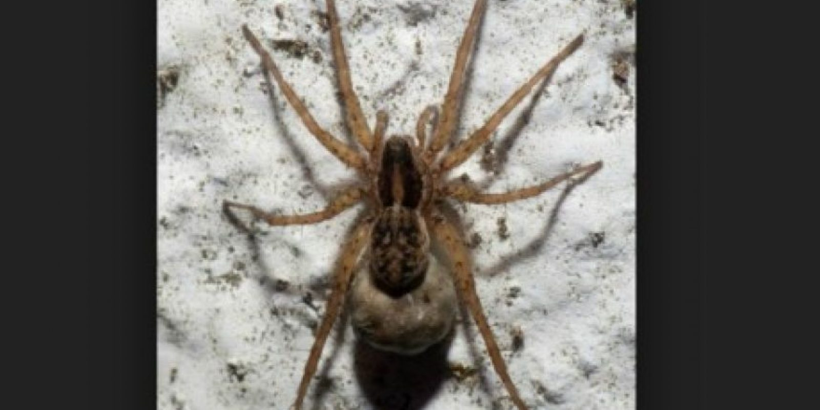 Araña de saco: tiene una citotoxina que puede matar a las células vivas en las áreas afectadas. Y puede dejar una huella desagradable en torno a la picadura. Foto:commons.wikimedia.org
