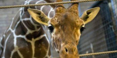 En febrero de 2014 el zoológico de Copenhague, Dinamarca, causó revuelo tras sacrificar a una jirafa de 2 años frente a padres de familia y niños. Foto:AFP