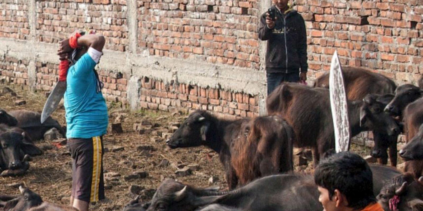 Por otro lado, los animales pequeños que aproximadamente fueron 100 mil, no se contabilizan para el sacrificio. Foto:vía AFP