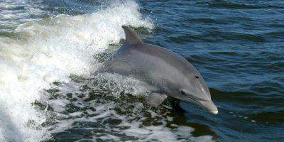Cada año, en las zonas costeras de las islas Feroe en Dinamarca se lleva a cabo la matanza de miles de delfines debido a la celebración de adolescentes que llegan a la edad adulta. Foto:vía AFP