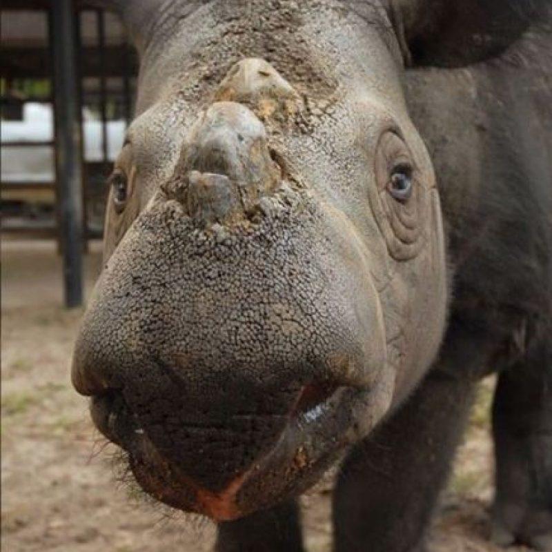 A pesar de las medidas de protección, la caza furtiva continúa por sus cuernos. Es por eso que se encuentra en peligro de extinción. Foto:instagram.com/rhinosirf/