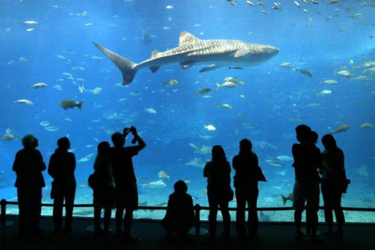 El proceso reproductor de un tiburón implica muchos mordiscos Foto:Getty Images