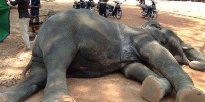 """Identificada como """"Sambo"""", cayó fulminada luego de trabajar durante 40 minutos trasladando turistas al templo Angkor Wat. Foto:vía Getty Images"""