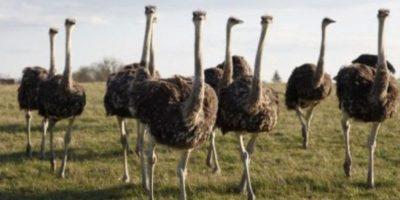 Los golpes y picotazos de las avestruces pueden causar la muerte. Foto:vía Wikipedia